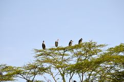 Marabou Storks Royalty Free Stock Photos