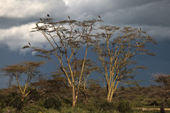 Marabou Storks on a tree at sunset Stock Photos