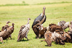 Marabou and vultures eating carrion in savannah Royalty Free Stock Image