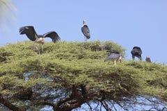 Marabous πάνω από το δέντρο Στοκ Εικόνες