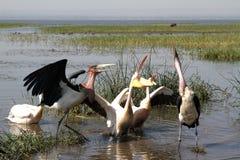 Marabous и пеликаны Стоковые Изображения