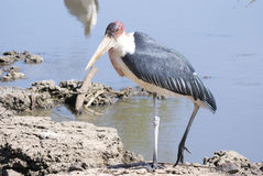Marabous. Marabou near water close-up Royalty Free Stock Images