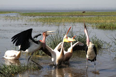 Marabous and Pelicans Stock Images
