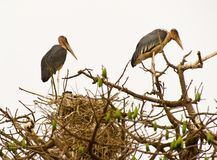 Marabous at their nest Royalty Free Stock Image