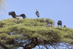 Marabous on top of tree. Marabous sitting in the crown of a tall tree in Kenya Stock Photo