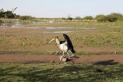 Maraboustork (den Leptoptilos crumeniferusen) Arkivfoto
