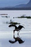 Maraboustork framme av laken Nakuru, Kenya Royaltyfria Foton