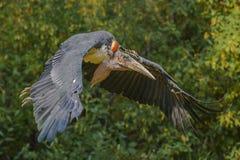 MarabouStork i flyg Fotografering för Bildbyråer