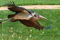 MarabouStork i flyg Royaltyfri Bild