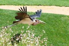 MarabouStork i flyg Royaltyfria Foton