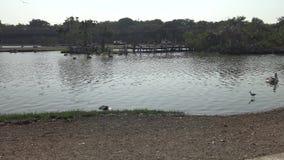 marabout 4k africain et oiseaux peints de cigogne à l'intérieur de l'étang dans le voyage de safari clips vidéos