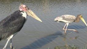 marabout 4K africain et oiseaux peints de cigogne à l'intérieur de la rivière dans le voyage de safari banque de vidéos