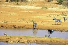 Marabu Fotografie Stock Libere da Diritti