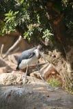 Marabu african in biopark Stock Image