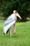 Marabu degli uccelli Fotografia Stock