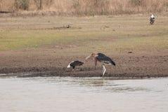 Marabu e águias Imagens de Stock