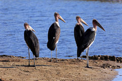 Marabu. A group of marabous by the river Stock Photography