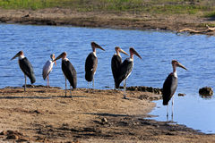 Marabu. A group of marabous by the river Stock Photo