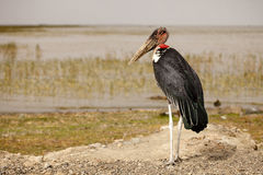 Marabu. At Lake Ziway, Ethiopia - Africa Stock Image