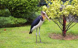 Bird marabou. Marabu is one of the varieties of storks with a very unusual lifestyle. Marabou live in Africa and Asia, where inhabit shore waters, preferring the Stock Photo