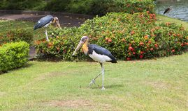 Bird marabou. Marabu is one of the varieties of storks with a very unusual lifestyle. Marabou live in Africa and Asia, where inhabit shore waters, preferring the Stock Photography