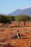 Marabu in the Savannah of Tsavo East Royalty Free Stock Photo