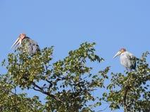 Marabu-Storch Stockbild