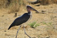 Marabu-Storch - lustiges Schauen Stockbild