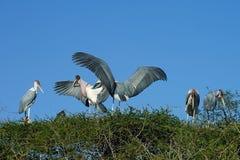 Marabu Stork. An Marabu Stork with Nest Stock Images