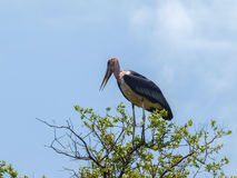 Marabu stork Royalty Free Stock Photos