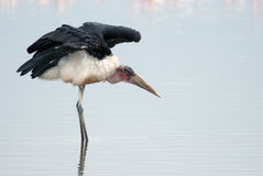 Marabu stork standing in the water of Lake Nakuru Stock Photos