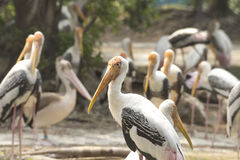 Marabu van vogels Stock Afbeelding