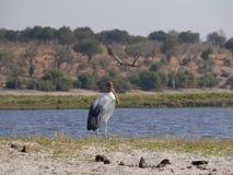 Marabustorch und schwarz-geflügelte Stelze in Nationalpark Chobe Stockfotografie