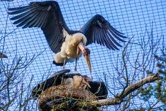 Marabustorchpaare, die ihr Nest, aggressives Vogelverhalten während Jahreszeit im Frühjahr züchten, tropische Vögel vor Afrika sc lizenzfreies stockfoto