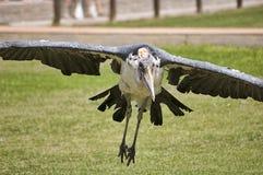 Marabustork (den Leptoptilos storken) Arkivfoto