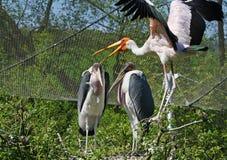 Marabutów bociany Zdjęcia Stock