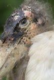 Marabut Zdjęcie Stock
