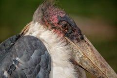 Marabuta bocian Południowa Afryka Fotografia Stock