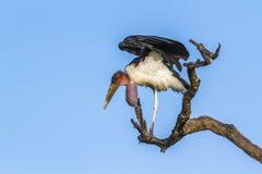 Marabuta bocian w Kruger parku narodowym, Południowa Afryka Obraz Royalty Free