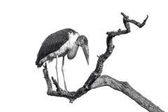 Marabuta bocian w Kruger parku narodowym, Południowa Afryka Fotografia Royalty Free