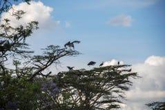 Marabuta bocian w Nairobia Kenja Afryka Obrazy Stock