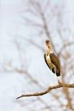 Marabuta bocian w Południowa Afryka Obraz Royalty Free