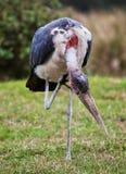 Marabuta bocian w Tanzania, Afryka Zdjęcie Royalty Free
