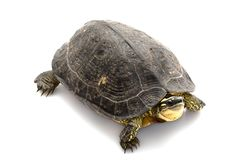 Maracaibo Wood Turtle Stock Photos
