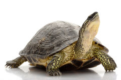 Maracaibo Wood Turtle Royalty Free Stock Photos