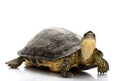 Maracaibo Wood Turtle Royalty Free Stock Photo