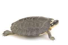 Maracaibo Wood Turtle Royalty Free Stock Photography