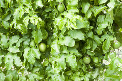 Maracuja Fruits Royalty Free Stock Photos