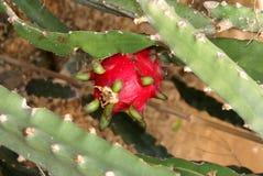 Maracuja - passiflore comestible de passiflore Image libre de droits