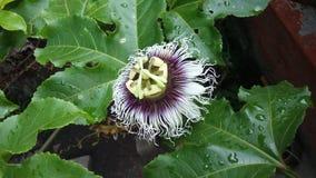 Maracuya flower fruit passiflora edulis. Maracuya is a tropical and amazing flower, and delicious fruit. Its scientific name is Passiflora Edulis stock images